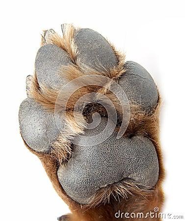 Zampa di un cane della razza un rottweiler immagine stock - Colorazione immagine di un cane ...