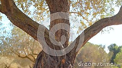 Zamyka up stary drzewo oliwne zbiory wideo