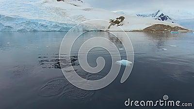 Zangão que leva a cabo um rebanho dos pinguins na água Andreev vídeos de arquivo
