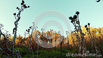 Zaniechany promień z prickles i zieloną trawą przy zmierzchem zbiory