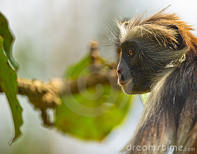 Zanzibar Red Colobus in deep thought