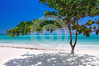 Zanzibar tropical tree at the beach