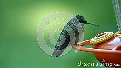 Zbliżenia zwolnione tempo strzelający hummingbird zbiory wideo