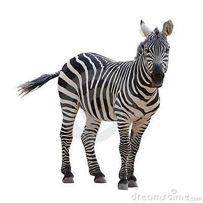 Free Zebra Stock Photography - 11825562