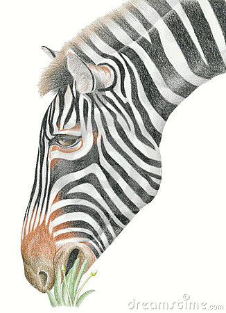 Free Zebra Stock Photography - 16216092