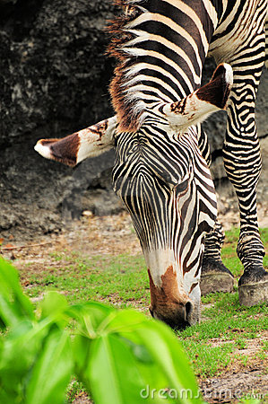 Free Zebra Stock Photos - 20308033