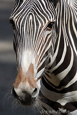 Free Zebra Stock Photography - 20878362