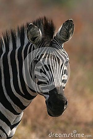 Free Zebra Stock Photography - 3525982