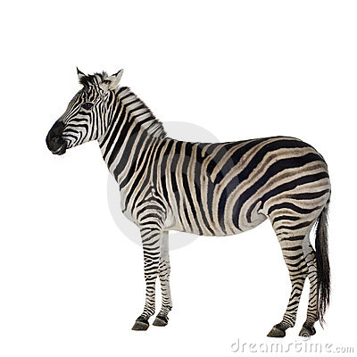 Free Zebra Royalty Free Stock Images - 3752879
