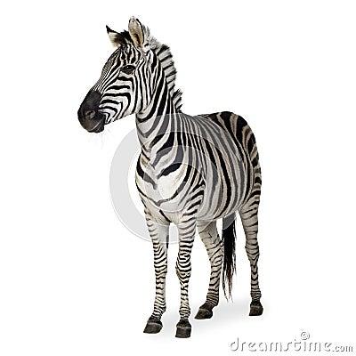 Free Zebra Stock Image - 3752921