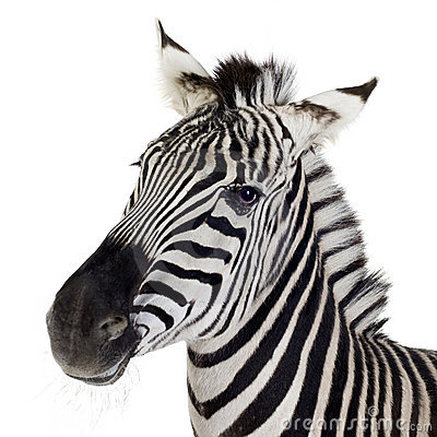 Free Zebra Stock Photography - 3752992