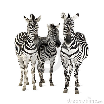 Free Zebra Royalty Free Stock Image - 4247446