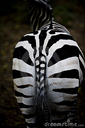 Free Zebra Royalty Free Stock Photo - 5926805