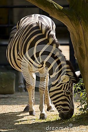 Free Zebra Royalty Free Stock Image - 9139186