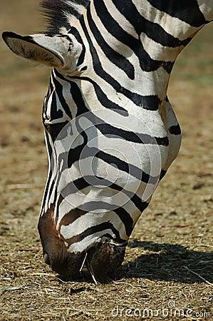 Free Zebra Stock Photos - 971703