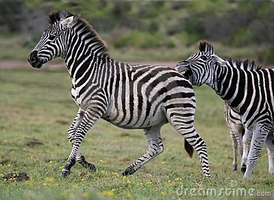 Zebra Aggression