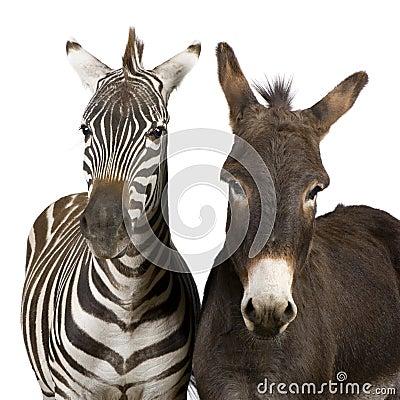 Free Zebra And Donkey Stock Image - 7136121