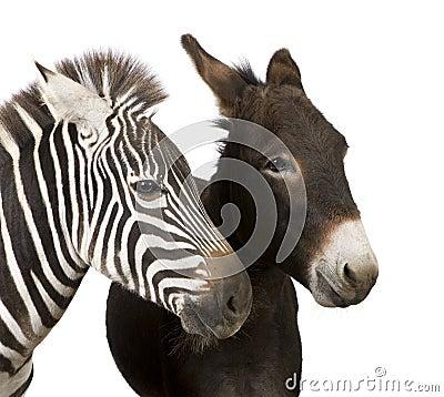 Free Zebra And Donkey Royalty Free Stock Photos - 8551618