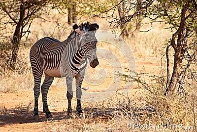 Zebra animal hiding for the sun