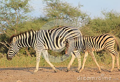 Zebra - Animal Moms at Work - Beauty from Africa