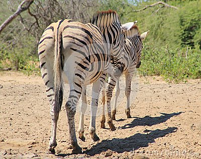 Zebra - Animal Moms at Work - Lined up