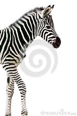 Zebra appena nata del bambino