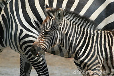 Zebra Baby with parent stripes