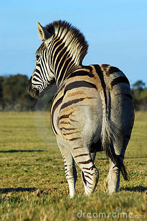 Zebra back view