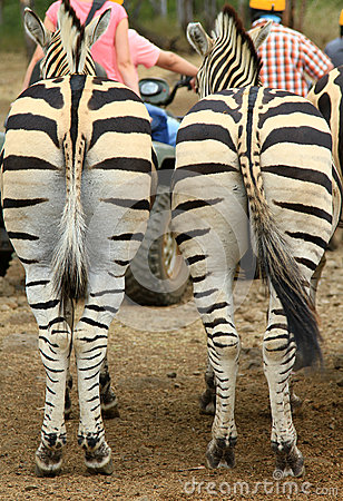 Zebra backs