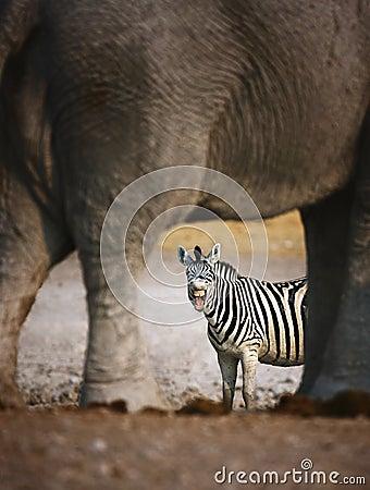 Zebra barking