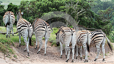 Zebra in beweging