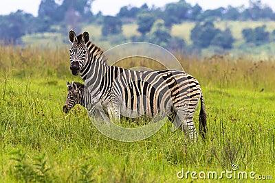 Zebra Calf Protect