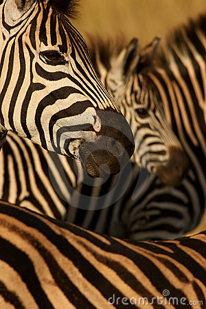 Free Zebra Collage Royalty Free Stock Images - 9057569