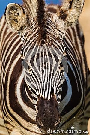 Free Zebra Colt Foal Portrait Stock Photography - 28614202