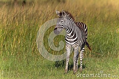 Zebra Calf Colt