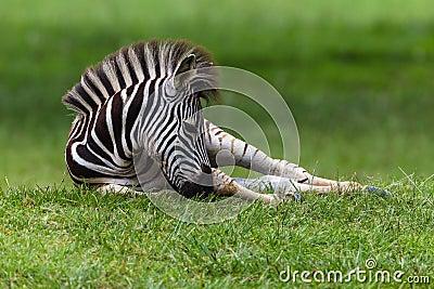 Zebra Colt Resting
