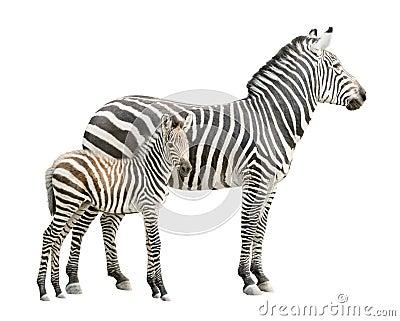 Zebra con il ritaglio del foal