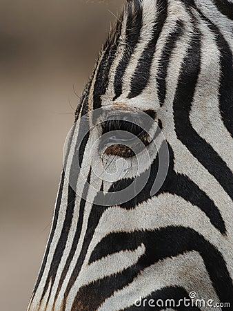 Zebra das planícies