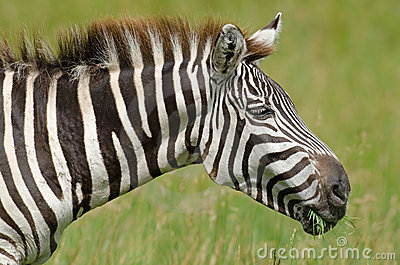 Zebra de Grant