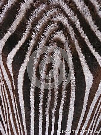 Zebra - detail
