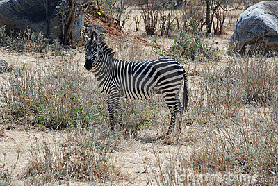 Zebra in dry savannah woodland - Tanzania