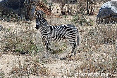 Zebra in dry savannah woodland - Tanzania