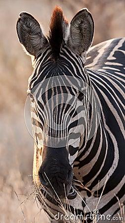 Zebra at dusk in low light eating