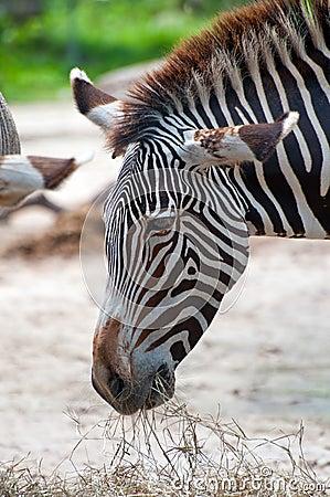 Zebra Eating Grass or Hay