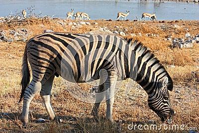 Zebra eating gras