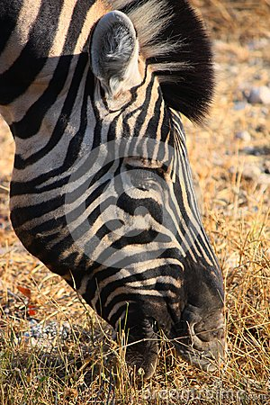 Zebra eating gras