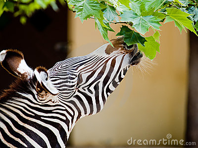 zebra-eating-leaves-5526083.jpg