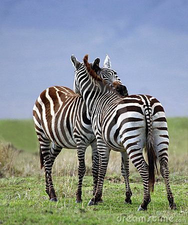 Free Zebra Embrace Royalty Free Stock Images - 3989