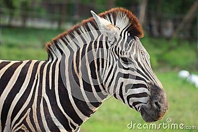 Zebra [Equus quagga]