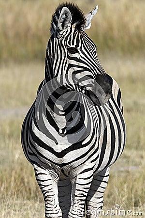 Zebra (Equus quagga) - Botswana